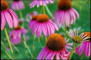 האכיניצאה היא צמח נוגד זיהום