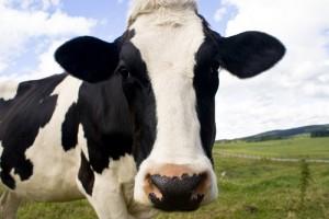 האם יש יתרון לחלב המלא האורגני?