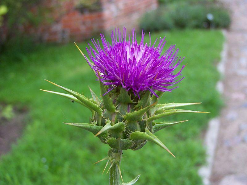צמח הסילבום (גדילן מצוי) מגן על הכבד ומשפר את תיפקודו